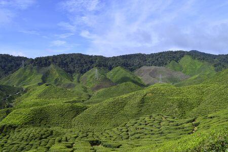 the view of tea plantation at Cameron Highlands, Malaysia