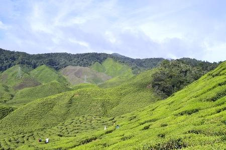 a view at tea plantation, Cameron Highlands, Malaysia Editorial