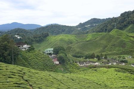 the tea plantation at Cameron Highlands, Malaysia