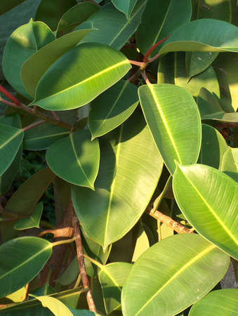 ficus: particular of a ficus tree