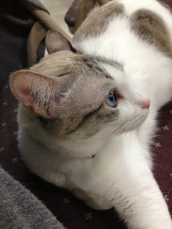 cushioned: Beautiful blue eyed white feline with grey patches resting on cushioned chair.