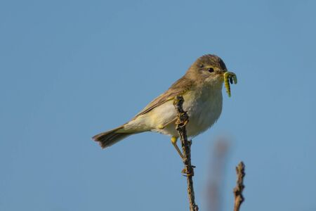 warbler: Willow Warbler with food in its beak