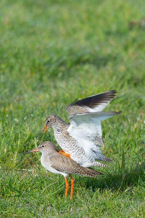 coitus: Pair of Redshank birds mating