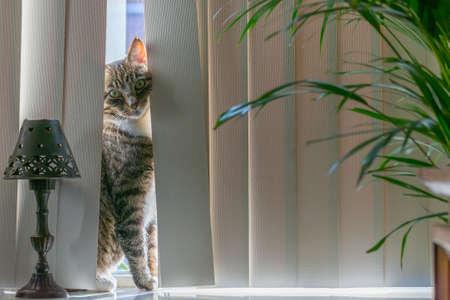 peeking: Cat peeking through the curtains