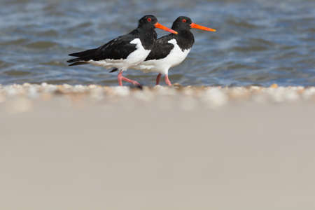 common vision: Oystercatchers next to each other