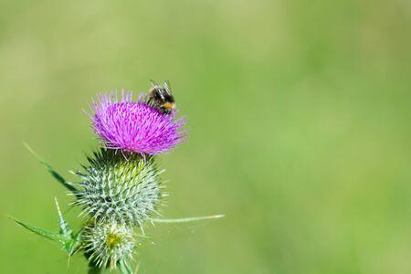 blooming purple: Bumblebee on blooming Purple Thistle