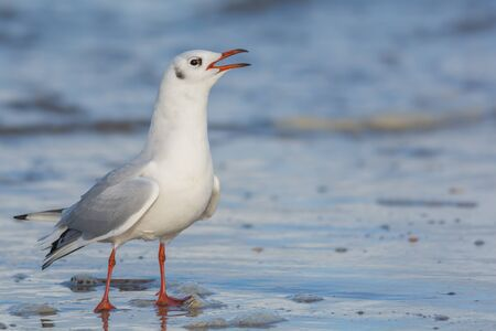 scandalous: Seagull calling while standing on a beach Stock Photo