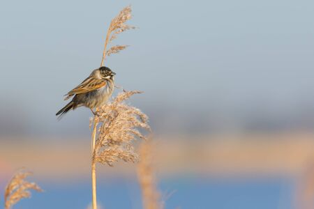 common reed: Bunting Sitting in Reed