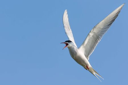 forked tail: Common Tern Calling in Flight in Angelic Posture