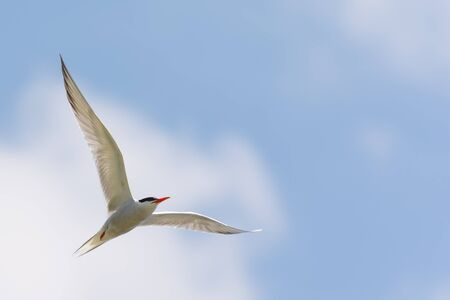 forked: Common Tern in Flight against Blue Sky White Clouds