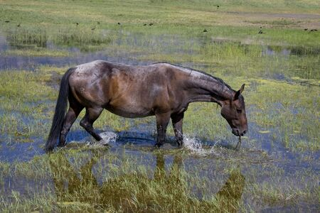 chasing tail: Horse eating grass while standing in water