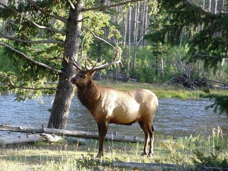 Bull Elk staanding by a river with pine trees photo