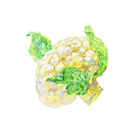 Watercolor cauliflower on white background. Hand drawn vegetable illustration. Painting cabbage