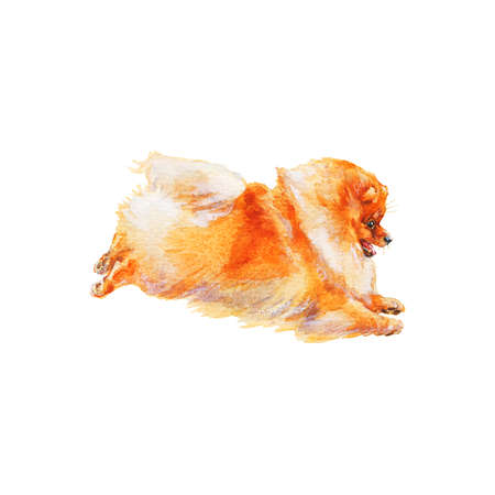 Watercolor playing pomeranian spitz. Hand drawn realistic dog portrait on white background. Painting pet illustration