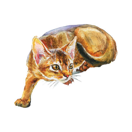 Watercolor abyssinian cat. Hand drawn short hair pet on white background. Painting animal illustration Фото со стока