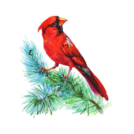 Watercolor cardinal on the branch. Hand drawn bird on white background. Painting ornithological illustration Standard-Bild - 129158401