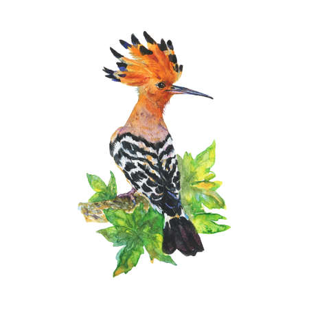 Watercolor hoopoe on the branch. Hand drawn bird on white background. Painting ornithological illustration Standard-Bild - 129158555