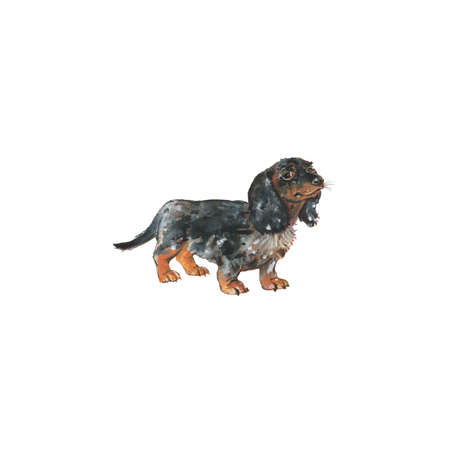 Watercolor dachshund, german badger dog. Hand drawn realistic pet portrait on white background. Painting animal illustration