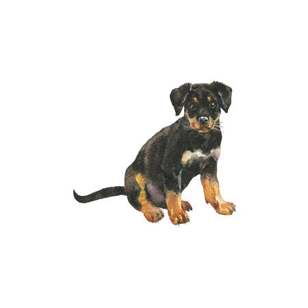 Watercolor rottweiler puppy. Hand drawn realistic dog portrait on white background. Painting pet illustration