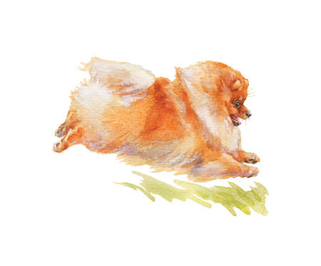Watercolor pomeranian spitz, outdoor. Hand drawn realistic dog portrait on white background. Painting pet illustration