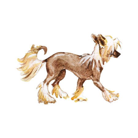 Painting chinese crested dog. Hand drawn realistic pet portrait on white background. Watercolor animal illustration