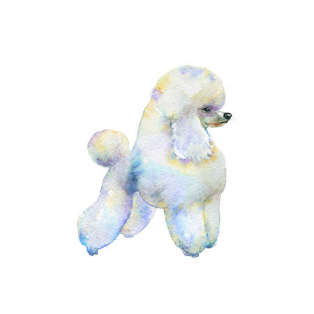Watercolor white poodle. Hand drawn realistic dogportrait on white background. Painting animal illustration