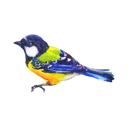 Watercolor titmouse. Hand drawn bird on white background. Painting realistic ornithological illustration Standard-Bild - 129158784