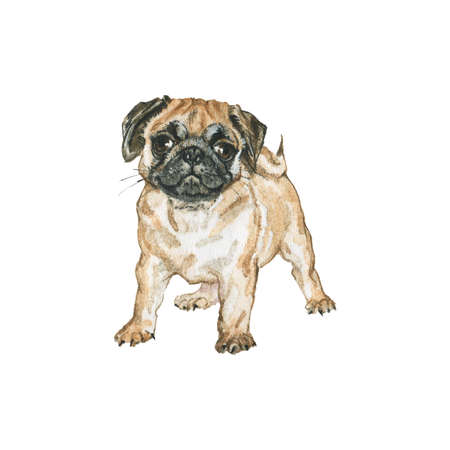 Watercolor pug. Hand drawn realistic dog portrait. Painting pet illustration on white background