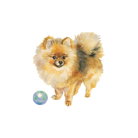 Watercolor pomeranian spitz with a ball. Hand drawn realistic dog portrait on white background. Painting pet illustration Archivio Fotografico - 129158800