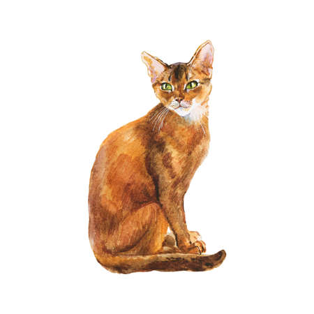 Watercolor abyssinian cat. Hand drawn sitting short hair pet on white background. Painting animal illustration Фото со стока