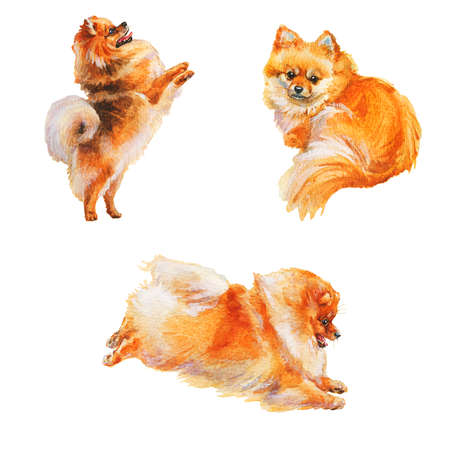 Watercolor set of pomeranian spitz dogs. Hand drawn realistic pets on white background. Painting animal illustration Archivio Fotografico - 129158876
