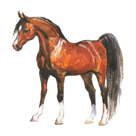Watercolor brown horse. Hand drawn beautiful arabian, mustang, thoroughbred stallion on white background. Painting animal illustration Archivio Fotografico - 129158875
