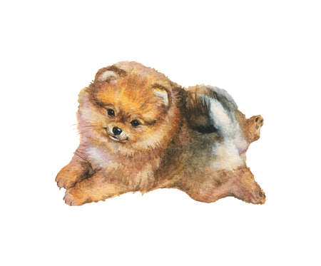Watercolor pomeranian spitz puppy. Hand drawn realistic dog portrait on white background. Painting pet illustration Archivio Fotografico - 129158892