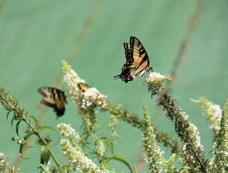 Yellow swallowtail butterflies on white butterfly bush Stock Photo