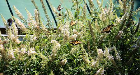 Slik staart vlinders op bush