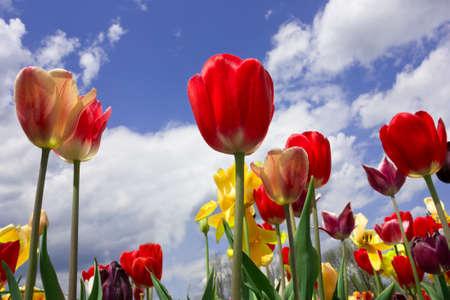 Field of colorful tulips in Haymarket, Virginia