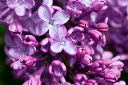 Beautiful lilacs on Cape Cod in Wellfleet Massachusetts