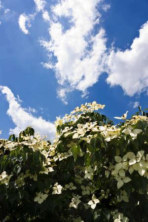Flowering tree against blue sky Zdjęcie Seryjne
