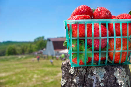 Basket of strawberries on fence