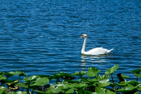 White swan swims across a blue lake with green lily pads in the foreground