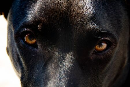 Close-up of black dog with brown eyes. Sunlight creates some highlights on the fur.