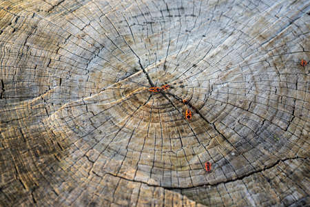 Cross Section of Old Tree Trunk Showing Growth Rings and beetles. Texture Background. Pear Tree Stump.