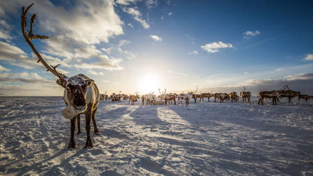 Deer in the tundra, on a sunny frosty day Stock Photo