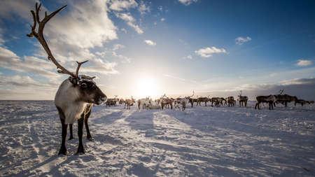 Herten in de toendra, op een zonnige ijzige dag Stockfoto