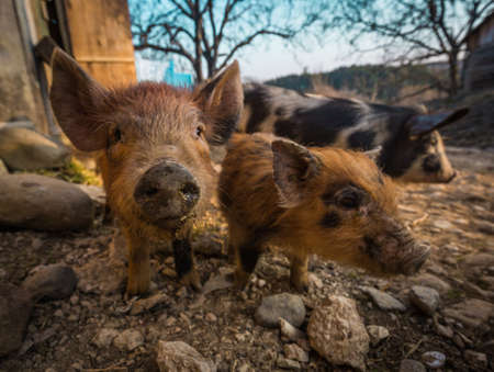 3 little pigs: Three pigs in the barnyard