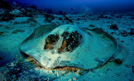 skin diving: Stingray Stock Photo