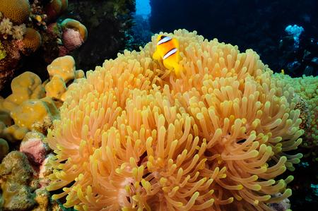 stony corals: Anemone with clownfish