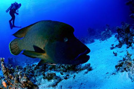 cheilinus undulatus: Napoleon fish