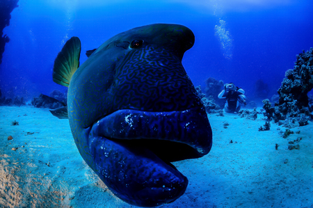 napoleon fish: Napoleonfish close-up the camera