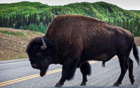 bull     s eye: A huge and peaceful bison crossing a road